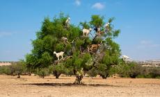 Kozy na drzewie w Maroku